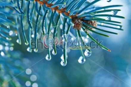 stock-photo-blue-spruce-with-drops-of-water-macro-154167482