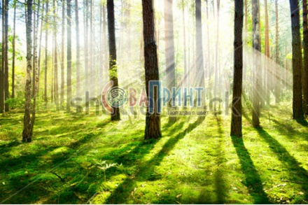 stock-photo-forest-morning-fog-misty-and-foggy-forest-old-trees-135313805