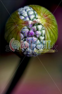 stock-photo-macro-close-up-of-a-blue-violet-allium-ampeloprasum-commutatum-liliacee-colored-background-1