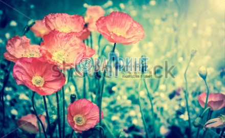 stock-photo-red-poppies-in-sun-beams-on-the-meadow-selective-focus-aged-photo-retro-style-postcard-19572