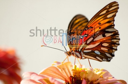 stock-photo-ventral-view-of-agraulis-vanillae-butterfly-against-light-background-64262179