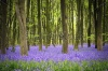 stock-photo-a-carpet-of-bluebells-in-the-woods-hampshire-uk-44817520