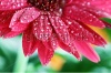stock-photo-abstract-of-a-red-gerber-daisy-macro-with-water-droplets-on-the-petals-extreme-shallow-depth