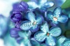 stock-photo-blue-lilac-flowers-closeup-with-water-drops-135232760