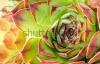 stock-photo-close-up-of-hen-and-chick-or-crassulaceae-succulent-flower-103836545