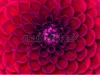 stock-photo-closeup-of-colourful-flower-178496759