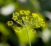 stock-photo-dill-flowers-in-nature-macro-206769091