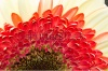 stock-photo-gerbera-jamesonii-beautiful-flower-with-macro-details-235992946