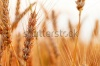 stock-photo-golden-ears-of-wheat-on-the-field-macro-image-144181813