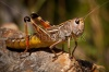stock-photo-grasshopper-macro-190774418