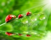 stock-photo-ladybugs-family-on-a-dewy-grass-close-up-with-shallow-dof-70438975