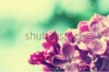 stock-photo-macro-image-of-spring-lilac-violet-flowers-floral-vintage-background-192870296