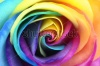 stock-photo-macro-of-rainbow-rose-heart-flower-and-multi-colored-petals-129482642