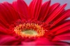stock-photo-macro-photo-of-gerbera-flower-with-water-drop-floral-background-242186266