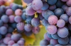 stock-photo-multi-coloured-pinot-noir-grapes-close-up-macro-image-250009174