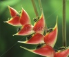 stock-photo-red-heliconia-tropical-flower-macro-hawaii-maui-usa-163055954