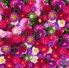stock-photo-red-pink-and-violet-aster-flowers-background-149647157