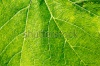 stock-photo-single-grape-leaf-in-the-close-macro-240199312