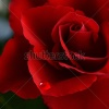 stock-photo-soft-natural-light-falling-onto-a-velvet-blood-red-valentine-rose-with-a-soft-tear-concept-1