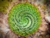 stock-photo-spiral-aloe-aloe-polyphylla-the-national-plant-of-lesotho-176253647