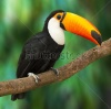 stock-photo-toucan-ramphastos-toco-sitting-on-tree-branch-in-tropical-forest-or-jungle-141263962