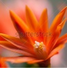stock-photo-a-close-up-of-an-orange-easter-cactus-bloom-99751763